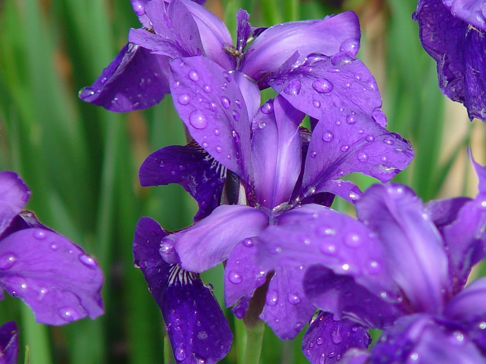 iris-with-water-drops-1528064